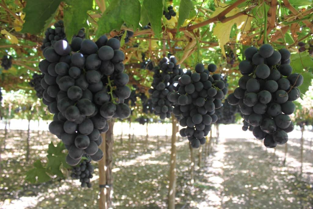 Agricultores de uva de mesa advierten que urge recambio de variedades ante complicaciones del - Variedades de uva de mesa ...